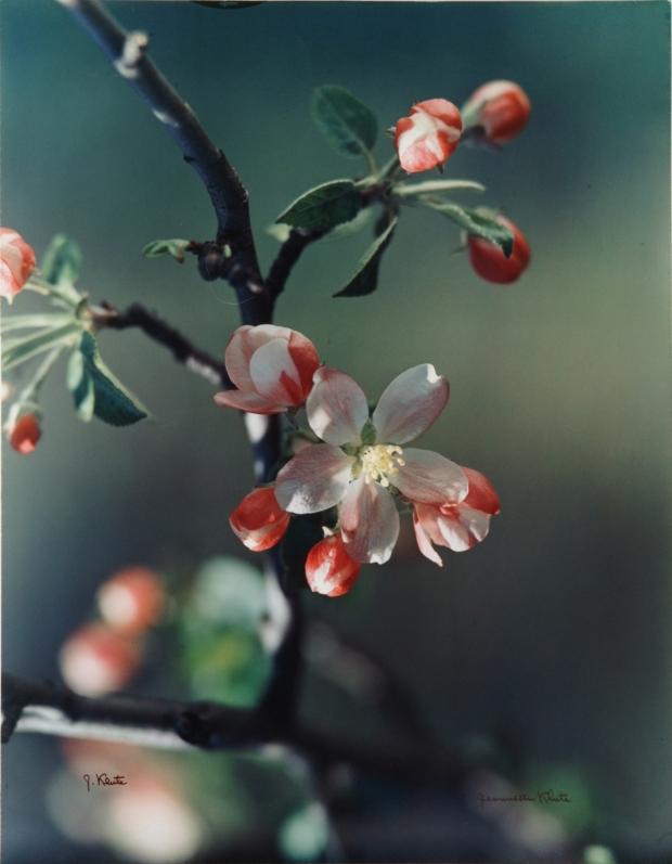Jeannetter Klute, Apple Blossom, c.1950